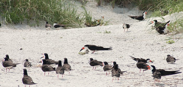 Staff photo by Allison Potter. A black skimmer shades its chick at a nesting site on Wrightsville's south end on Friday, June 27.
