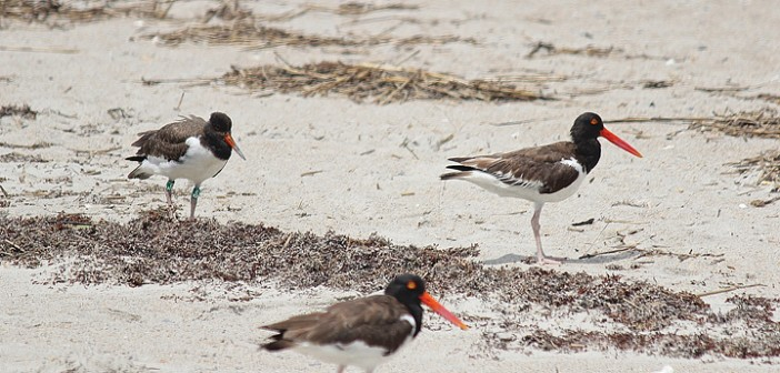 Staff photo by Cole Dittmer. A teenage oystercatcher, far left, enjoys the company of its parents outside the Audubon North Carolina bird sanctuary at the south end of Wrightsville Beach on Wednesday, Aug. 13. Audubon will remove the bird sanctuary postings at the end of August.