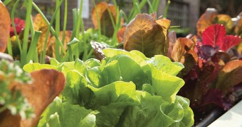 Lumina News file photo.   Lettuces should be planted now for cold weather harvest.