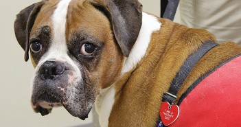 Staff photo by Cole Dittmer. Therapy dog Samson, a 7 and a half year old boxer, waits while his owner Lana Desloges gives a presentation on therapy dogs to a crowd at the New Hanover County Northeast Regional Library Wednesday, Sept. 3.