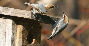 Supplied photo by David Disher. Birdwatchers will compile data about the species they observe, such as this Brown-headed Nuthatch, Dec. 14 to Jan. 5 for the annual Audubon Christmas Bird Count.