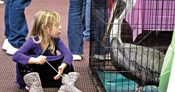 Staff photo by Emmy Errante. Four-year-old Wren York and a pelican who was rescued due to a wing injury watch each other at Cape Fear River Watch's Striperfest Community Education Day Saturday, Jan. 17 at the Coastline Convention Center.