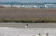 Lumina News file photo. An American oystercatcher walks through the bird sanctuary at Wrightsville's north end April 23, 2014.
