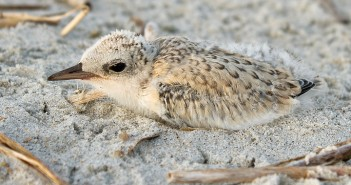 Supplied photo by Lindsay Addison. A least tern chick rests in the sand at Wrightsville's south end.