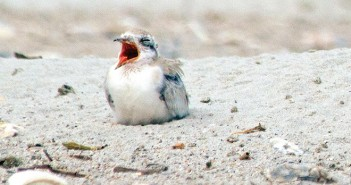 Staff photo by Emmy Errante.  One of this year's least tern chicks calls out in the bird sanctuary at the south end of Wrightsville Beach Wednesday, June 24.