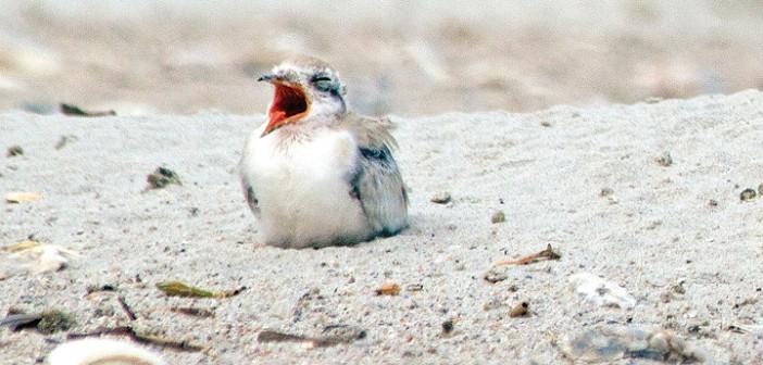 Black skimmer nests reach record high at Wrightsville Beach