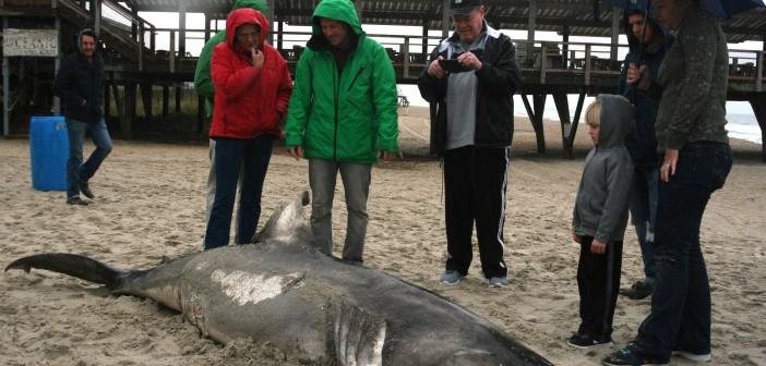 Shark Found On Wrightsville Beach A