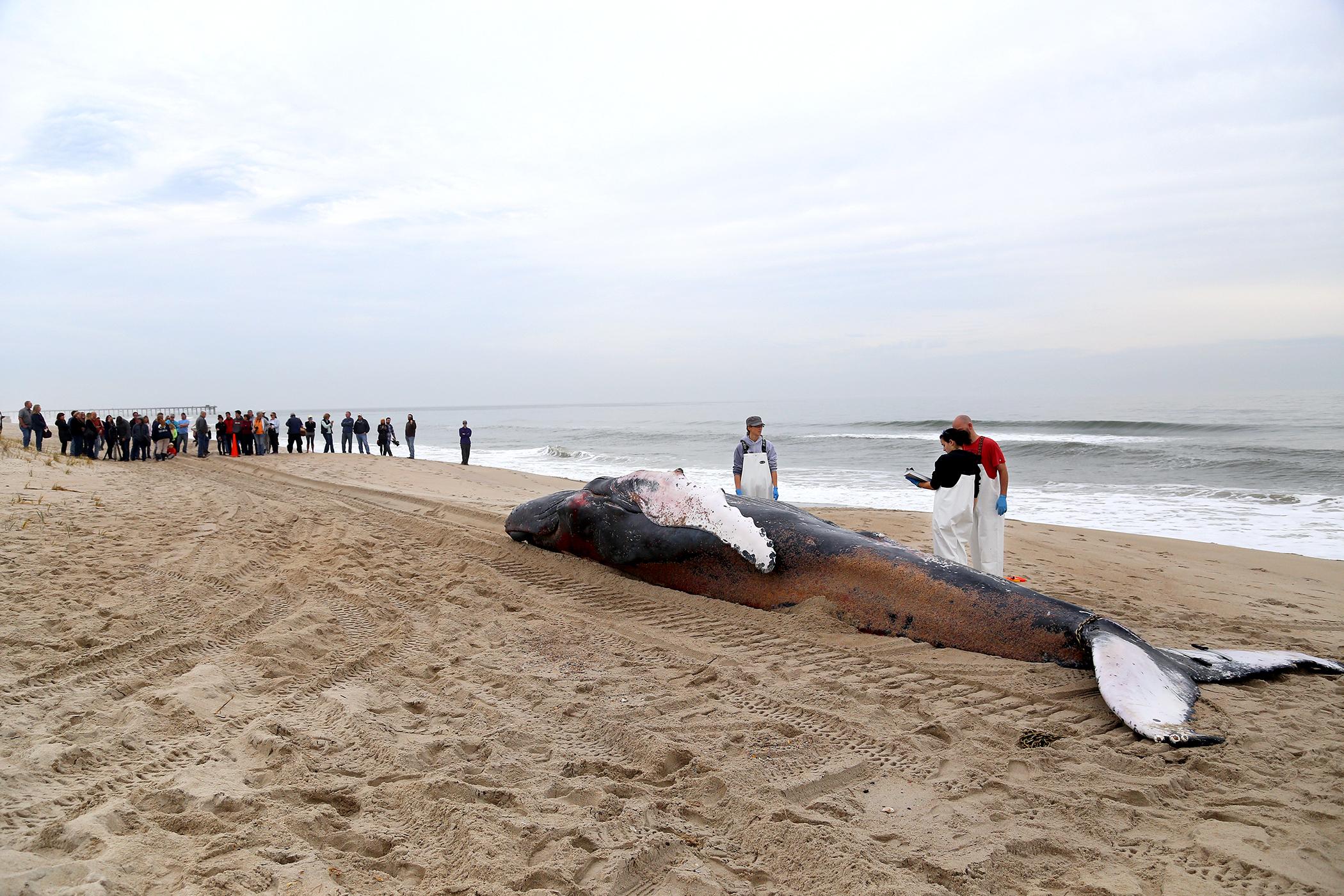 Humpback Whale Washes Up On Kure Beach Lumina News