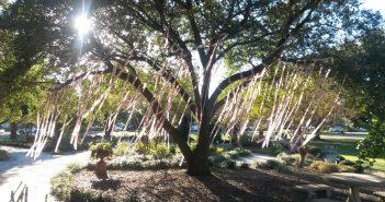 The pink ribbon tree in Harbor Way Garden.