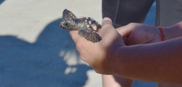 PHOTOS: CFCC students release rescued baby loggerheads into the Atlantic