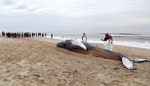 Photo courtesy of NC Aquarium at Fort Fisher. Researchers from the UNCW Marine Mammal Stranding Program prepare to measure the length of a stranded humpback whale Jan. 27, 2016.