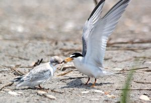 Lumina News file photo. A least tern adult feeds its chick a minnow from the ocean June 16, 2016 at Wrightsville Beach's south end bird sanctuary.